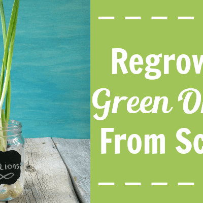 Never buy green onions again! Create an endless supply of green onions by regrowing them from scraps. Buy once, enjoy indefinitely.