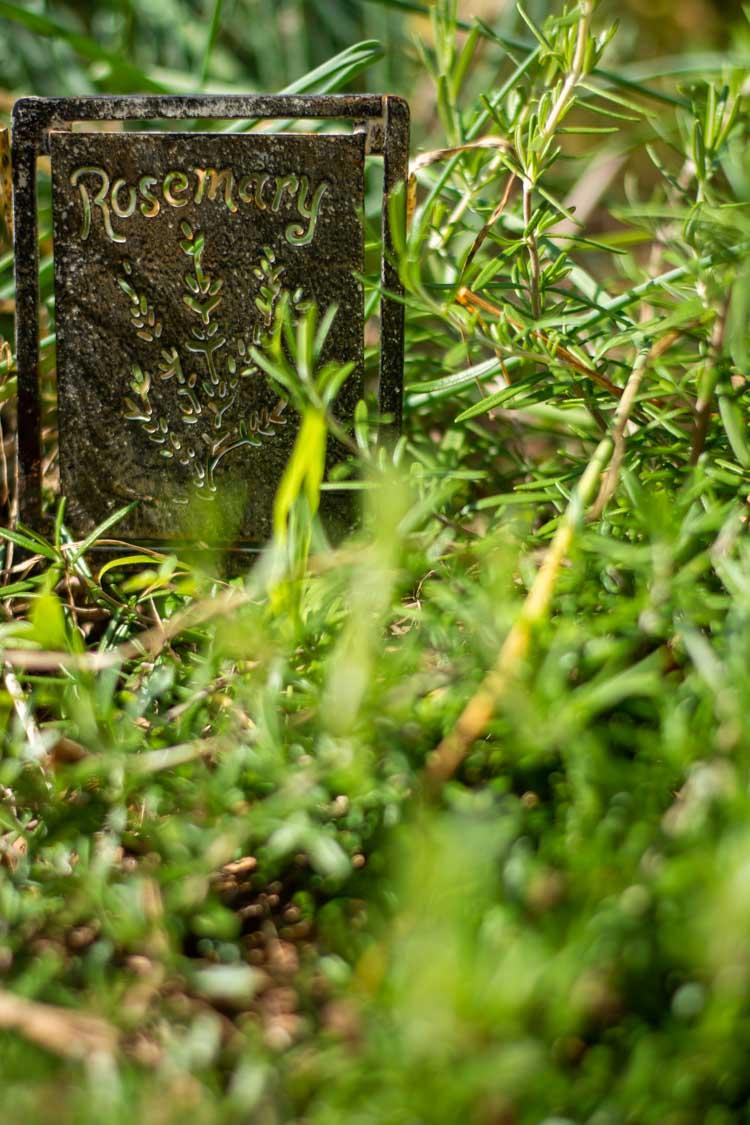 Fresh Rosemary in the Garden.